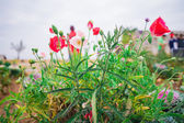 Poppies on green field — Stockfoto