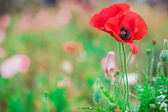 Close up of poppies on green field — Stockfoto