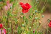 Poppies on green field — ストック写真