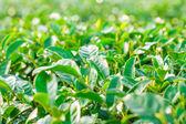 Herbata zielona zagroda — Zdjęcie stockowe