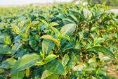 Close up green tea leaves — Stock Photo