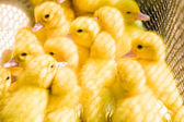 Close up of cute little yellow duck — Stock Photo