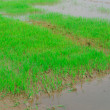 Stock Photo: Paddy rice field