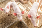 Young pigs on the farm — Stock Photo