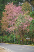 Wild himalayan cherry on romantic road — Stock Photo