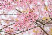 Wild Himalayan Cherry spring blossom — Stock Photo