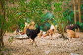 Rooster and Chickens.  — Stock Photo