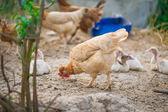 在农场的美丽母鸡 — 图库照片