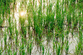 Rice Field in Rural of Thailand  — Stock Photo