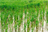 Paddy rice - Rice field  — Stock Photo