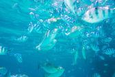 School of Indo-Pacific sergeants in deep sea — Stockfoto