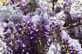 Glicine ( wisteria ) flowers close up — Stock Photo