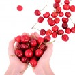 Sweet cherries in the hands — Stock Photo