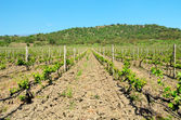Vineyard and azure blue sky — Stock Photo