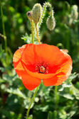Poppy flower and buds — Stockfoto