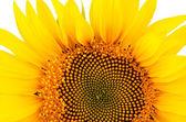 Sunflower close-up isolated on white background — Stock Photo