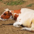 Spotty cow lying on the ground — Stock Photo