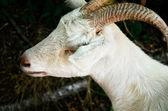 白いヤギのクローズ アップ — ストック写真
