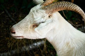 White goat closeup — Stock Photo