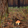 Fly agaric in the forest vertical — Stock Photo