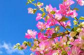 Rosa blommor och blå himmel — Stockfoto