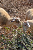 Two sheep graze the leaves vertical — Stock Photo