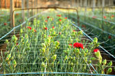 Red carnations growing on a plantation close-up — Stock Photo