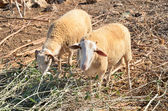 Two sheep in the pasture horizontal — Stock Photo