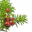 Yew twig with fruit on a white background — Stock Photo