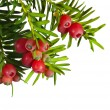 Yew tree with red fruits on a white background — Stock Photo