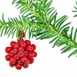 The Christmas decoration with red fruit yew tree on a white background — Stock Photo