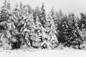 Winter in the mountain forest in black and white — Stock Photo