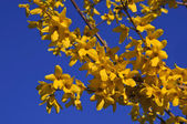 The beautiful branch of flowering yellow forsythia against a blue sky — Stok fotoğraf