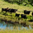 Black Angus Cattle Grazing near Kolob Reservoir on the Markagunt Plateau Utah — Stock Photo