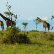 Four Giraffe on the Savanna in Murchison Falls National Park Uganda Central Africa — Stock Photo
