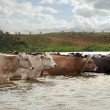 Herd of cows crossing a river — Stock Photo #29854121
