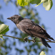 Crow sitting on a tree — Stock Photo