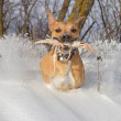Staffordshire terrier playing with a stick — Stock Photo