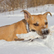 Staffordshire terrier playing in snow — Stock Photo #29897531