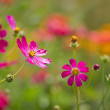 Colorful Cosmos Flowers in the garden — Stock Photo