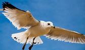 A seagull against a blue sky, at Chesapeake Beach, Maryland — Stock Photo