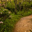 Mountain laurel along a trail in Shenandoah National Park, Virgi — Stock Photo