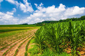 Cornfields on a farm in rural Southern York County, Pennsylvania — Stock Photo