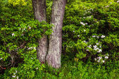 Tree and mountain laurel in Shenandoah National Park, Virginia. — Foto de Stock
