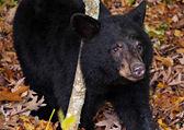 American black bear cub, seen along Skyline Drive in Shenandoah — Stock Photo