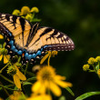 Swallowtail butterfly on yellow flowers in Shenandoah National P — Stock Photo