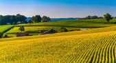 View of corn fields and farms in Southern York County, Pennsylva — Stock Photo