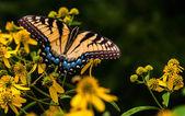 Swallowtail butterfly på gula blommor i shenandoah national p — Stockfoto