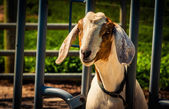 A goat. — Stock Photo