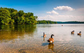 Geese in the water at Loch Raven Reservoir, near Towson, Marylan — Stock Photo